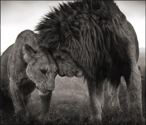 Lions Head to Head, Masai Mara, 2008