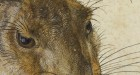 Albrecht Durer, Young Hare, detail