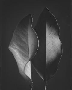 Ruth Bernhard, Two Leaves, 1952, Silver Gelatin Print, Image courtesy Scott Nichols Gallery AIPAD 2016
