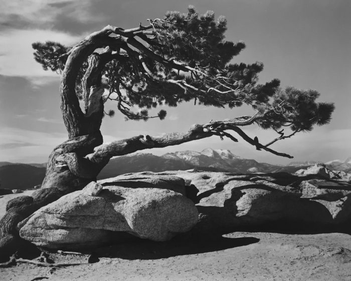 Ansel Adams,' Jeffrey Pine, Sentinel Dome, Yosemite', 1940. Gelatin silver print. Courtesy G Gibson Gallery, Seattle. AIPAD